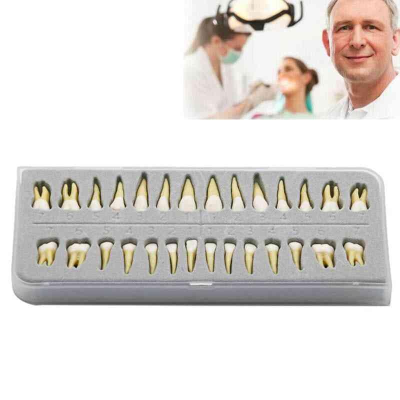 28 Pcs/set-dental Study 1:1 Permanent Demonstration
