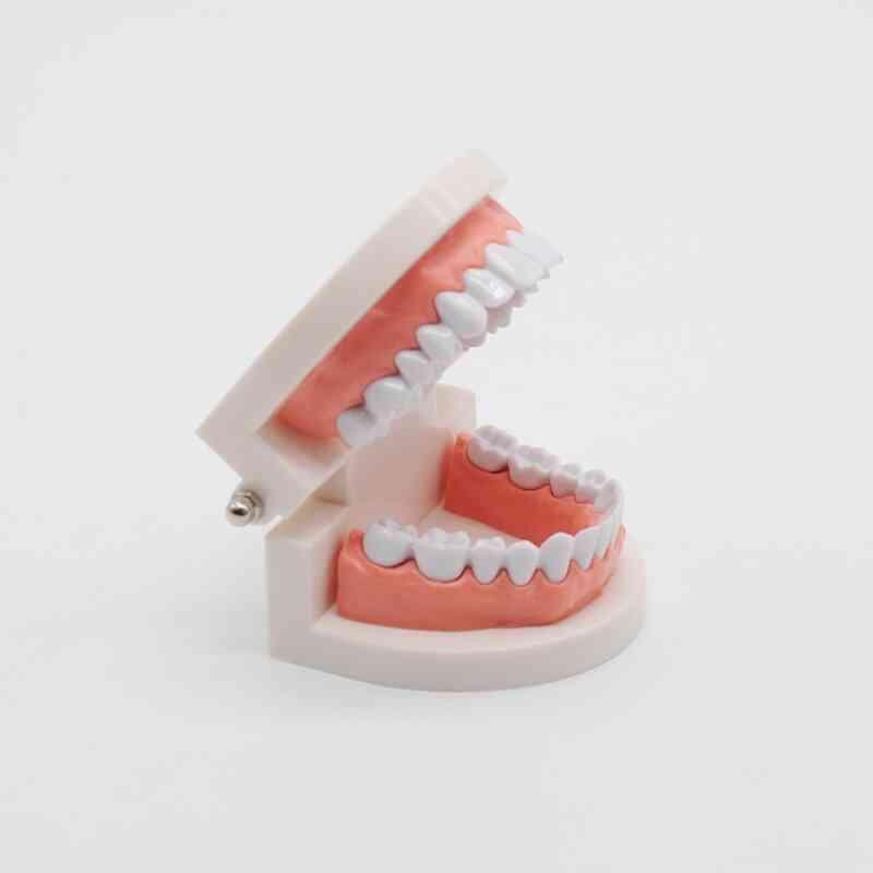 Study Typodont Demonstration Tool For Dentist Teaching