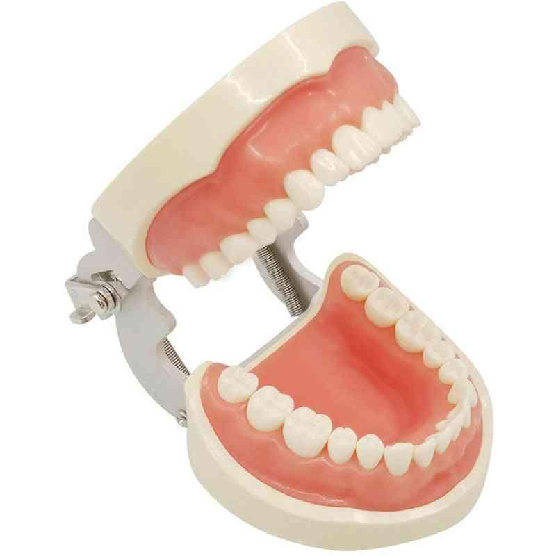 32-removable Dental Teeth, Typodont Model For Dental Oral Teaching