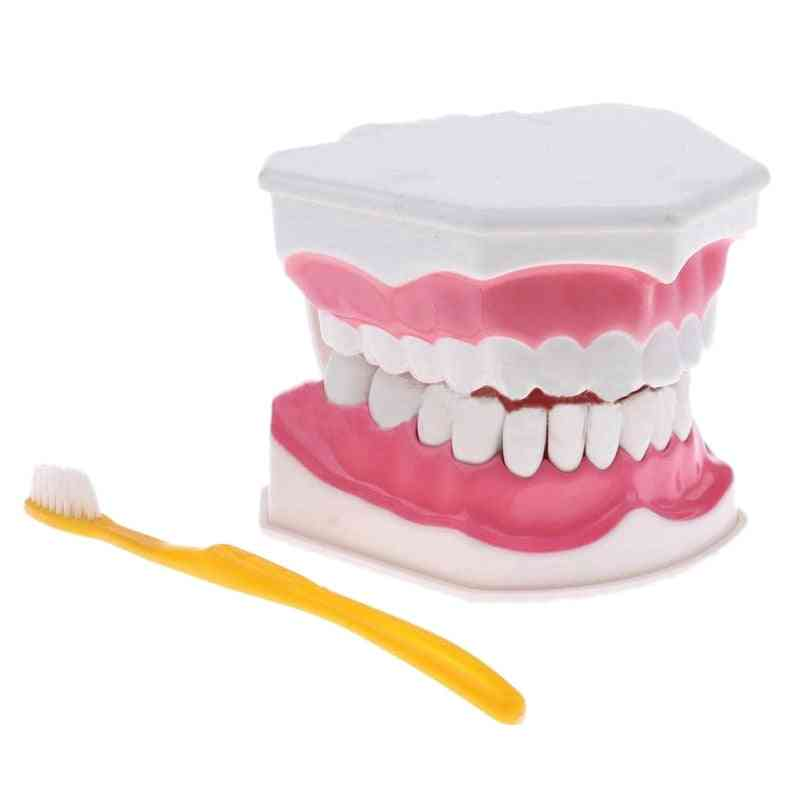 Teeth Model And Toothbrush With High-grade Teaching Model (white)
