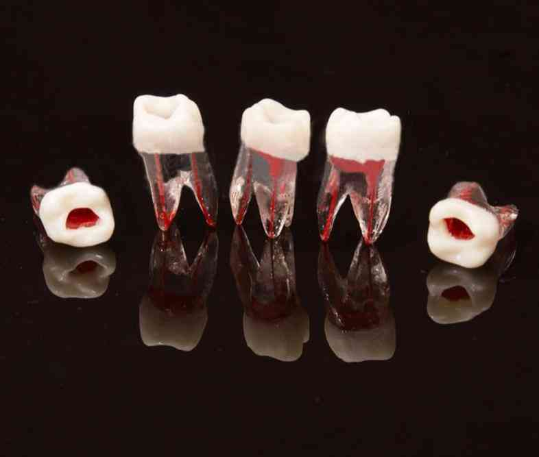 Dental Tooth Root Canal Model For Rct Practice Dentistry Lab Material