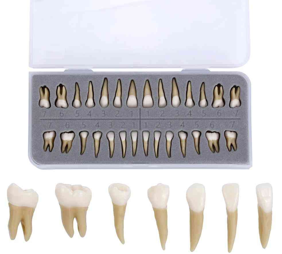 Demonstration Permanent Teeth Teach Study Model