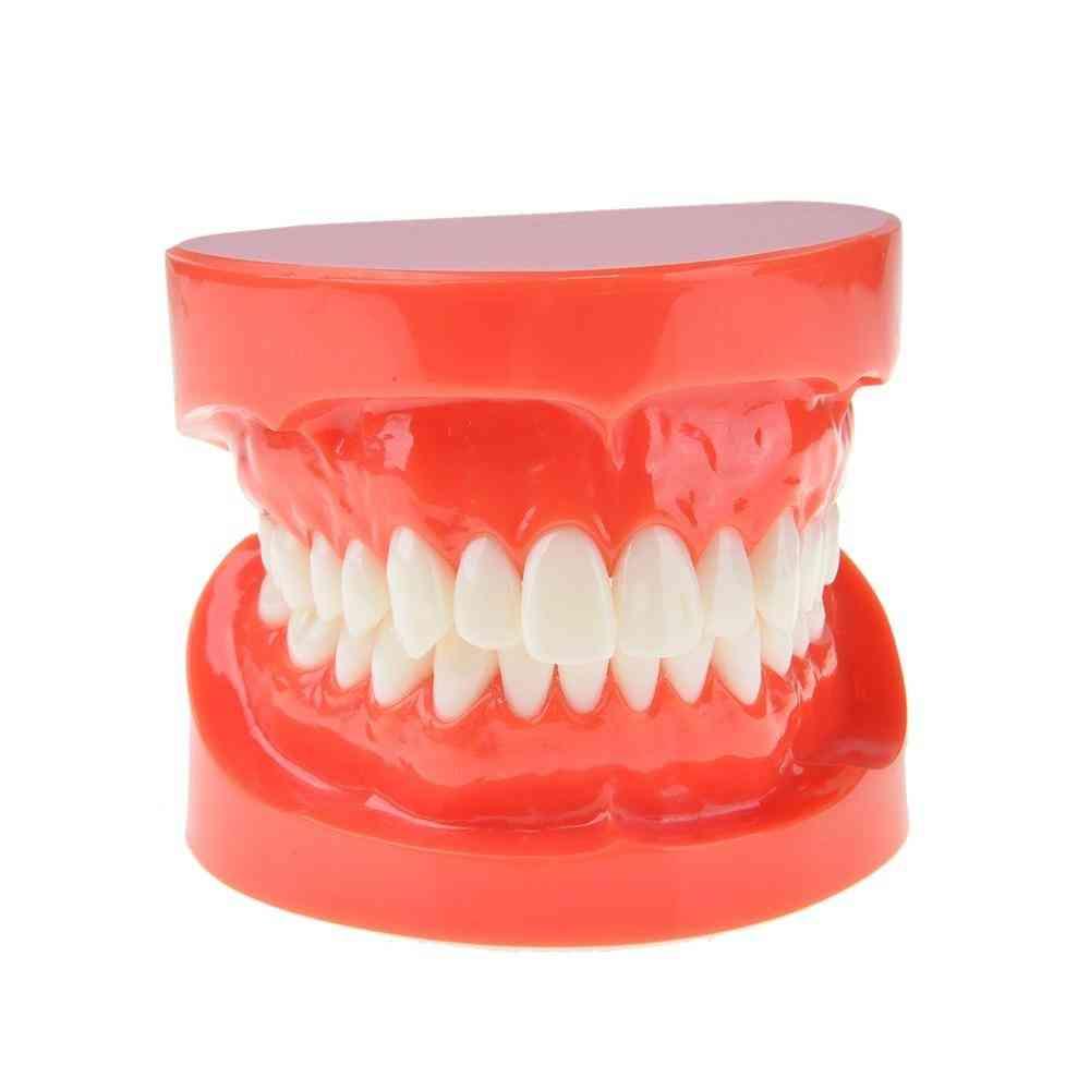 Dental Adult Standard Typodont Demonstration Model Teeth