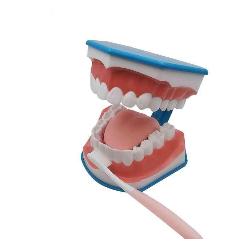 Standard Dental Teaching Model